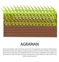 agrarian poster with growing corn plants vector image