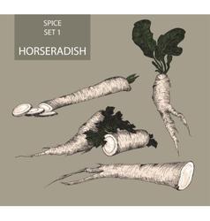 Horseradish vector image vector image