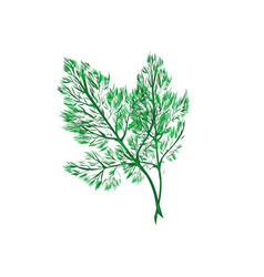 Fresh dill fennel leaf isolated on white vector