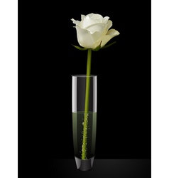 white rose in a glass vase vector image vector image