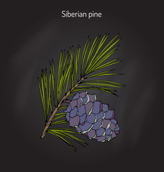 pinus sibirica or siberian pine vector image