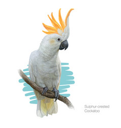 sulphur-crested cockatoo detailed vector image vector image