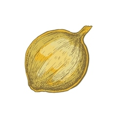 Hand drawn sketchy style colorful onion vector