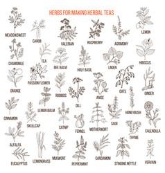Best herbs for teas vector