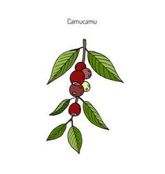 camu-camu medicinal plant vector image vector image