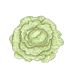 Hand drawn vintage style colorful cabbage vector