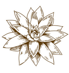 Engraving of succulent echeveria vector