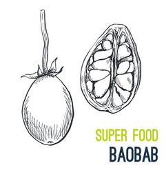 baobab super food hand drawn sketch vector image