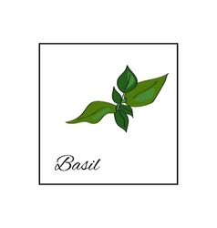 Basil isolated drawn herbs on white vector