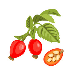 Rose hip twig with leaves berries and seeds vector