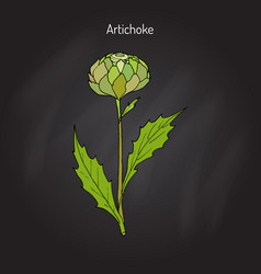 Artichoke culinary plant vector