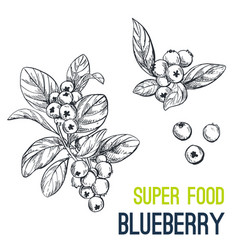 blueberry super food hand drawn sketch vector image vector image