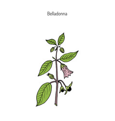 Atropa belladonna or deadly nightshade vector