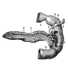 Posterior view of pancreas vintage vector