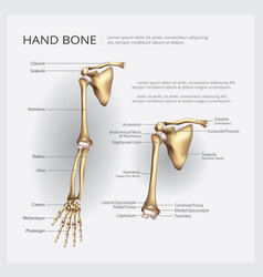 Arm and hand bone vector