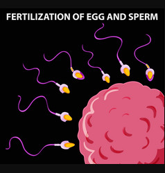 Diagram showing fertilization of egg and sperm vector