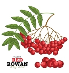 Red rowan set vector