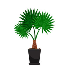 washingtonia house plant in flower pot vector image vector image