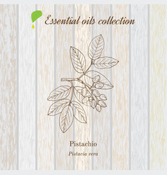 Pure essential oil collection pistachio wooden vector