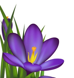 Crocus spring flowers vector