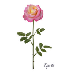 Beautiful pink rose isolated on white background vector