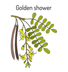 Golden shower or rain tree cassia fistula vector