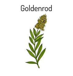 Goldenrod solidago virgaurea or woundwort vector