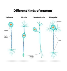 neurons vector image vector image