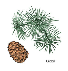 Natural drawing cedar concept vector