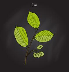field elm ulmus minor vector image