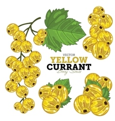 Yellow currant set vector