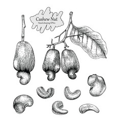 cashew nut collectionhand drawing vintage style vector image
