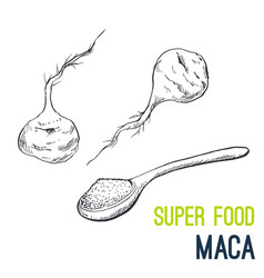 maca root super food hand drawn sketch vector image vector image