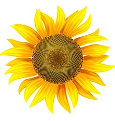 Yellow flower of sunflower vector