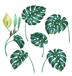 Stylized monstera leaves decorative image of vector