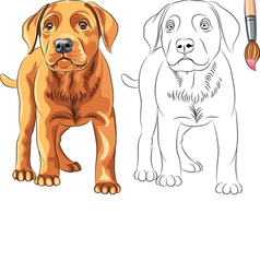 Coloring book of puppy dog labrador vector