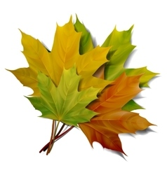Realistic green and yellow maple leaves vector