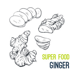ginger super food hand drawn sketch vector image vector image