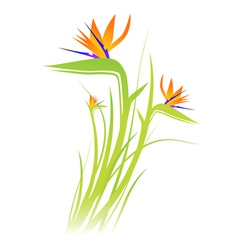 Bird of paradise flower strelitzia vector