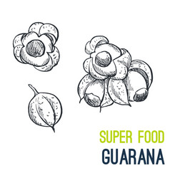 guarana super food hand drawn sketch vector image