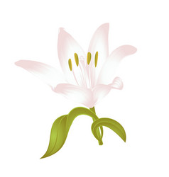 Lily white lilium candidum a white flower vector