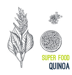 quinoa super food hand drawn sketch vector image vector image