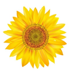 Sunflower petals vector