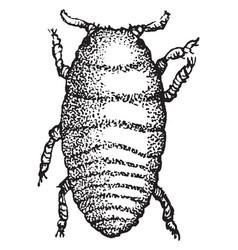 grape gall louse larva vintage vector image vector image