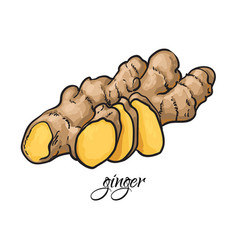 hand drawn fresh ginger root with caption vector image