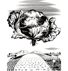 Agricultural landscape with red radicchio vector