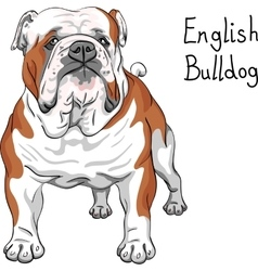 Sketch dog english bulldog breed vector