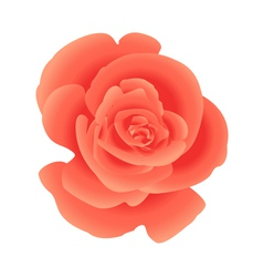 Single flower coral rose vector