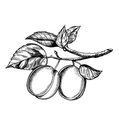 sprig of plum engraving vector image