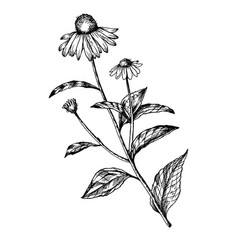 Echinacea medical herb engraving vector